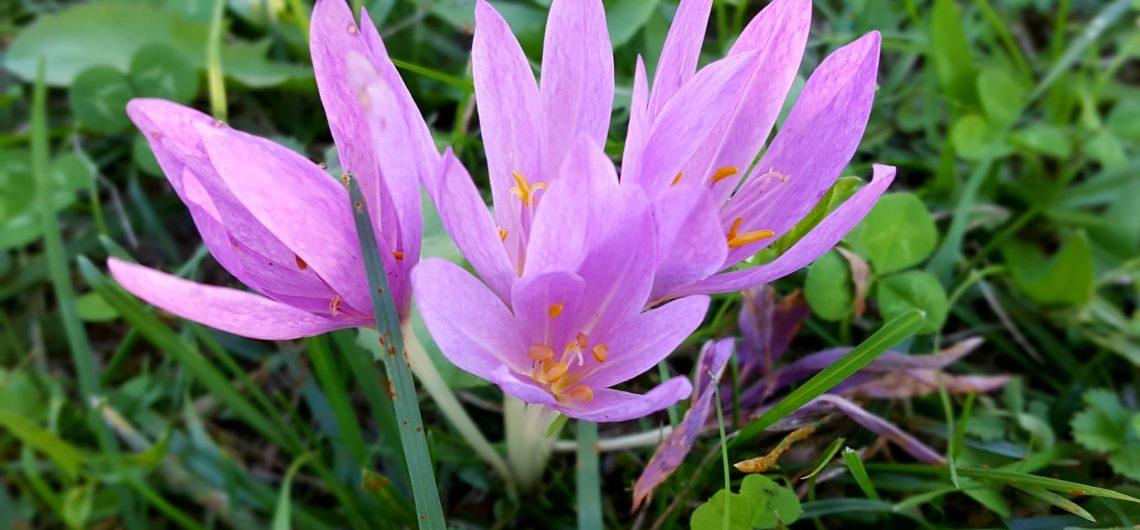 MRAZOVAC (Colchicum autumnale)
